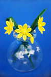 Suffolk Glass Celandine - Small Coloured